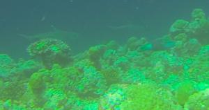 Weissspitzenriffhaie